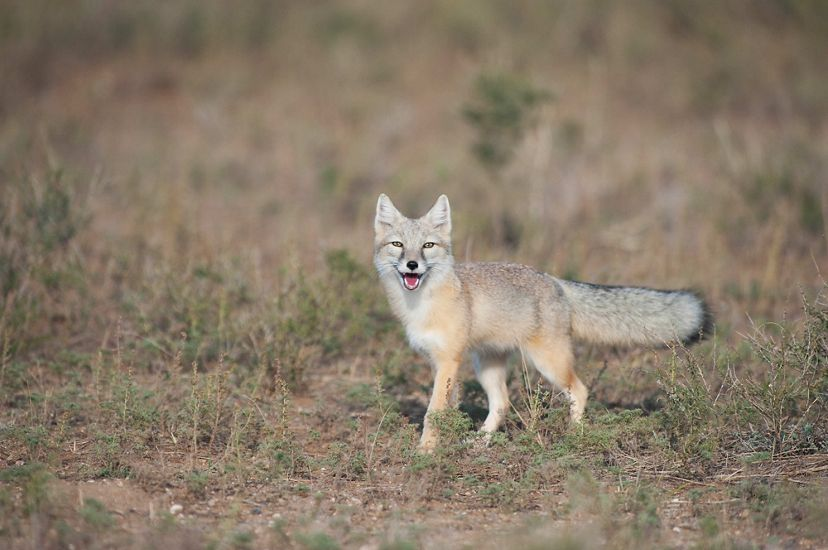 A Corsac fox in Mongolia