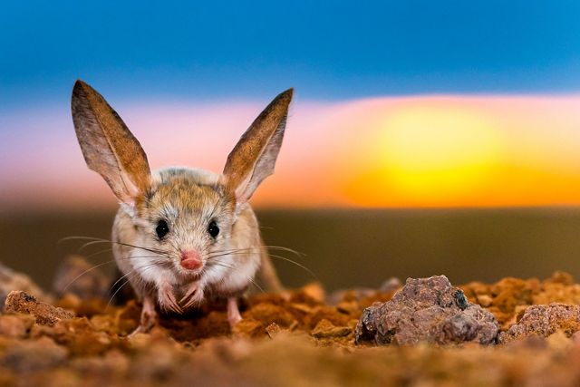 Long-eared jerboa at sunrise in Gobi Desert, Mongolia