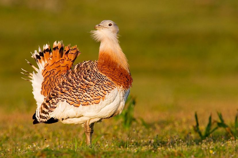 An Asian Great Bustard stands on grass