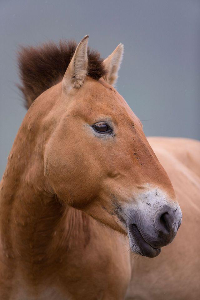 Przewalski's horse, Hustai National Park, Mongolia