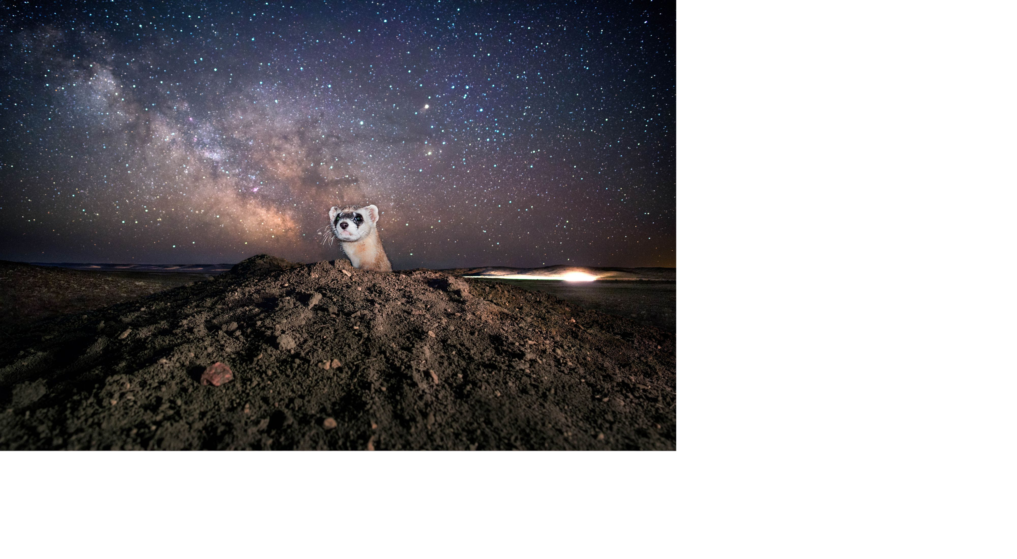A black-footed ferret peeks out of the ground against a starry sky