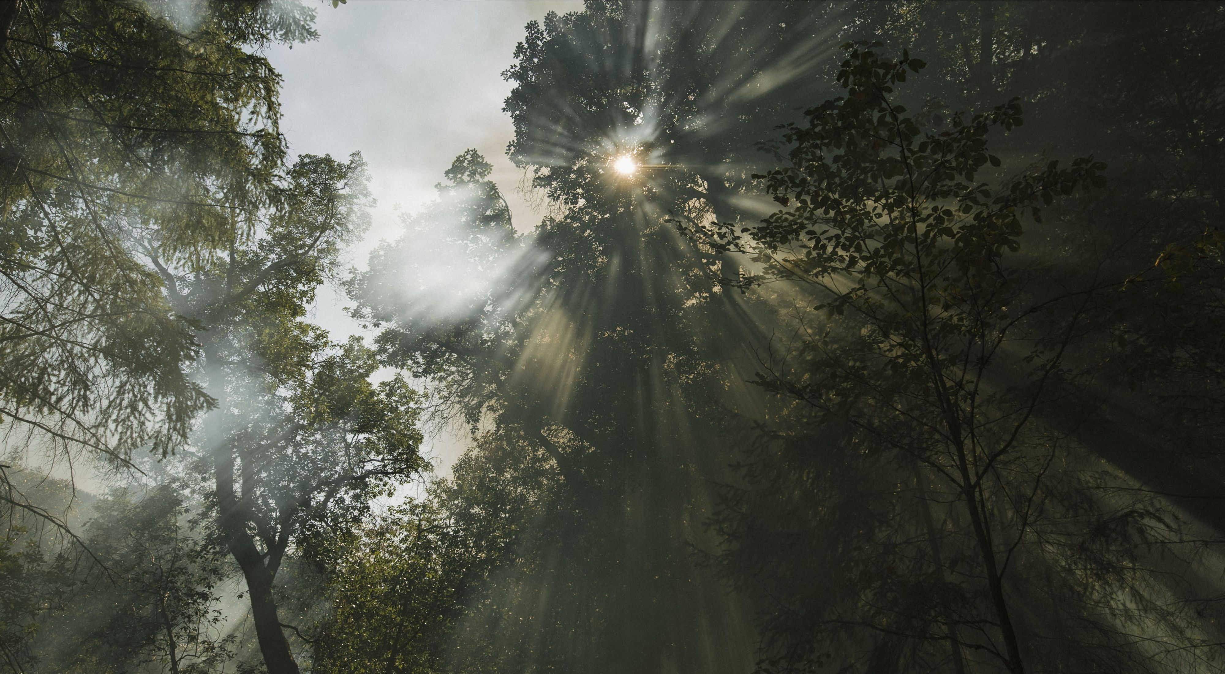 The sun shines weakly through trees and the smoke of a controlled burn in a California forest.