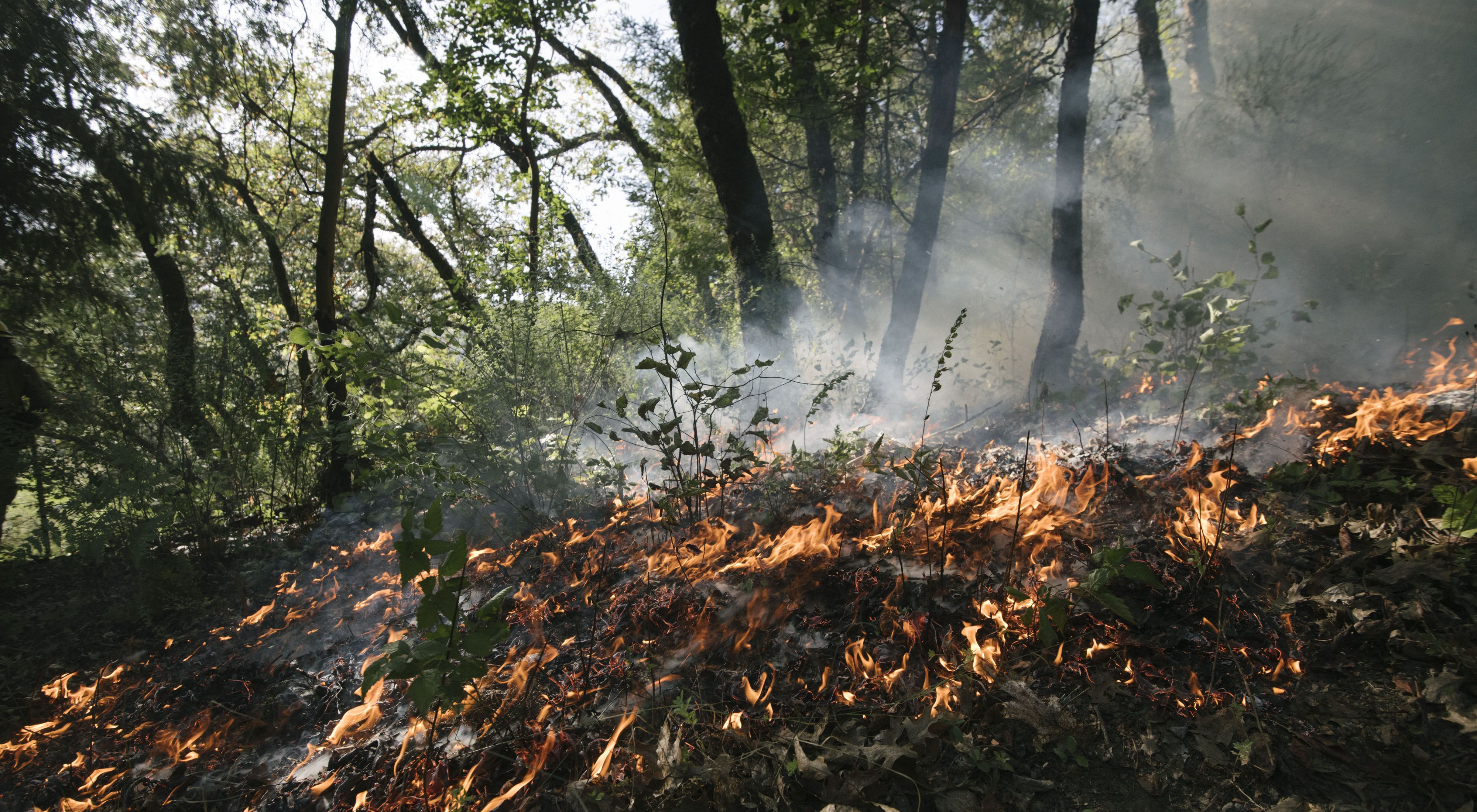 A ring of flame is created around a young hazel plant, burning away competitors during an indigenous prescribed burn near Weitchpec, CA.