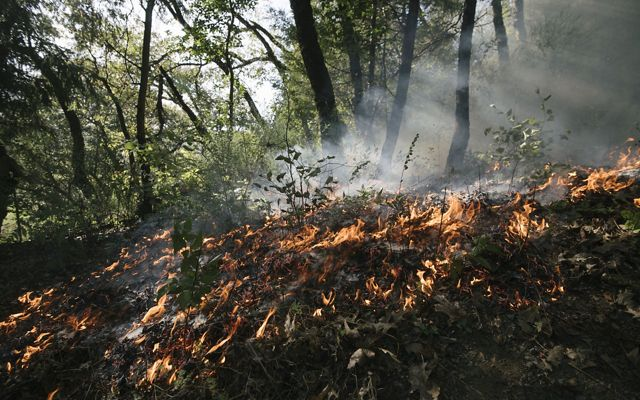 A controlled fire burns along a forest floor in a circle around a young hazel plant to keep it safe and remove competitors.