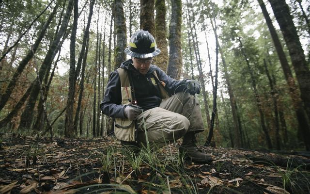 A research ecologist kneels in the forest, looking closely at beargrass recently burned in a controlled fire.