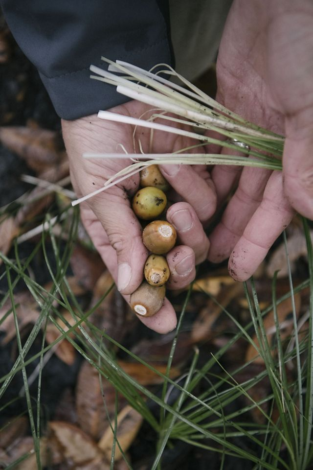 A closeup of hands holding acorns and young beargrass stems.
