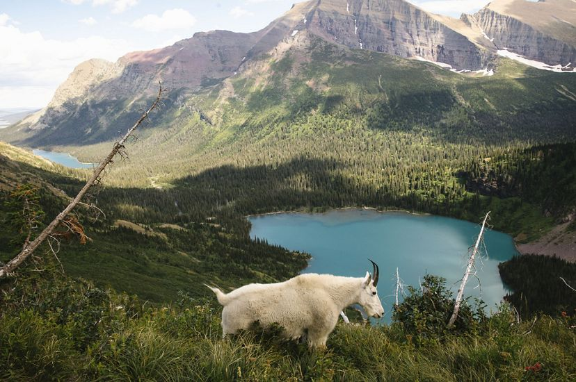 A mountain goat walks along the Grinnell Glacier Trail at Glacier National Park.