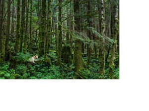 A white bear in Great Bear Rainforest