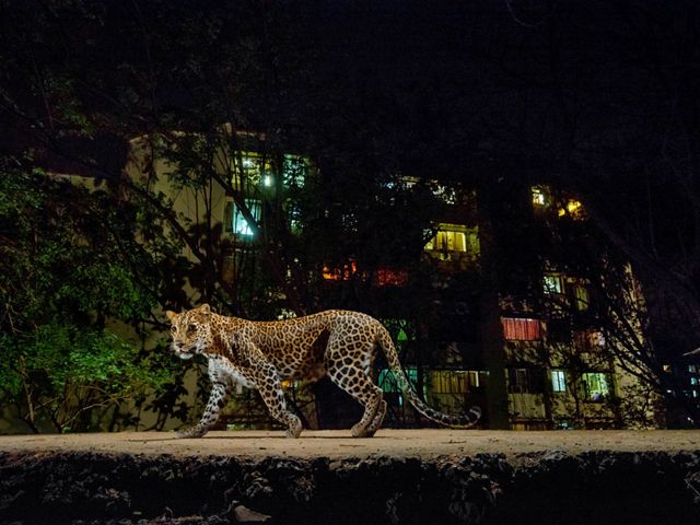 A leopard walks through an urban area