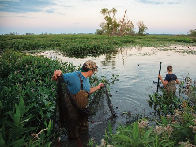 Two people hold a net as they wade into a marsh