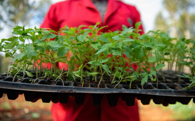 A woman holds a tray of seedlings