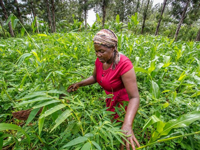 Julia Wangari tends to the bamboo planted at her home outside Maragua, Kenya. Wangari is one of the women who has been employed by the Kenya Fuel Woods program. 25 April, 2018