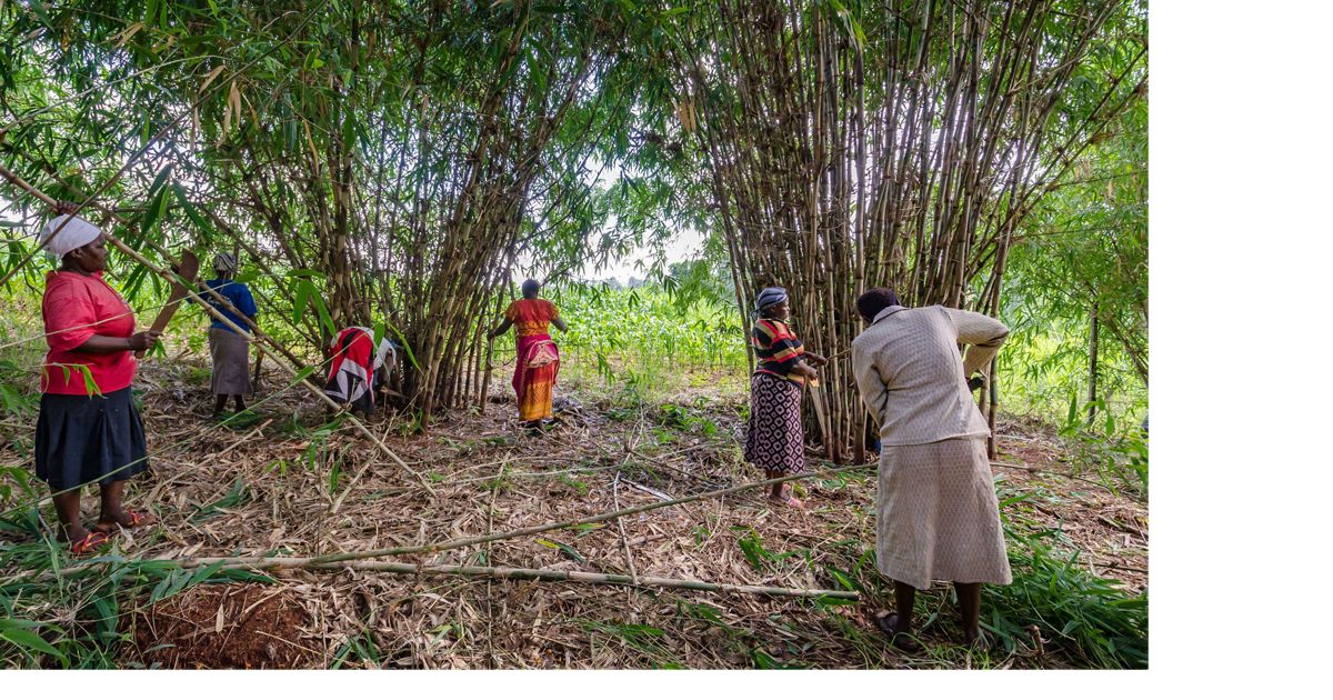 Women harvest bamboo at the Kenya Fuel Woods program site