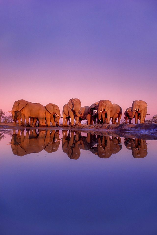 A group of African elephants visits a waterhole.