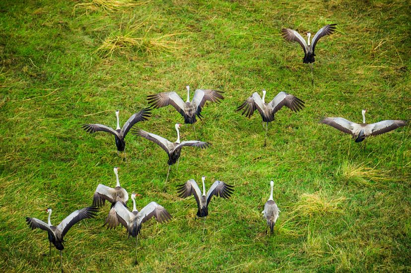 A group of wattled cranes takes off from a grassy spot in the Okavango Delta.
