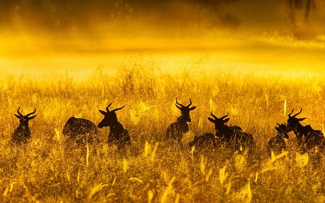 A herd of topis stands amid tall golden grasses.