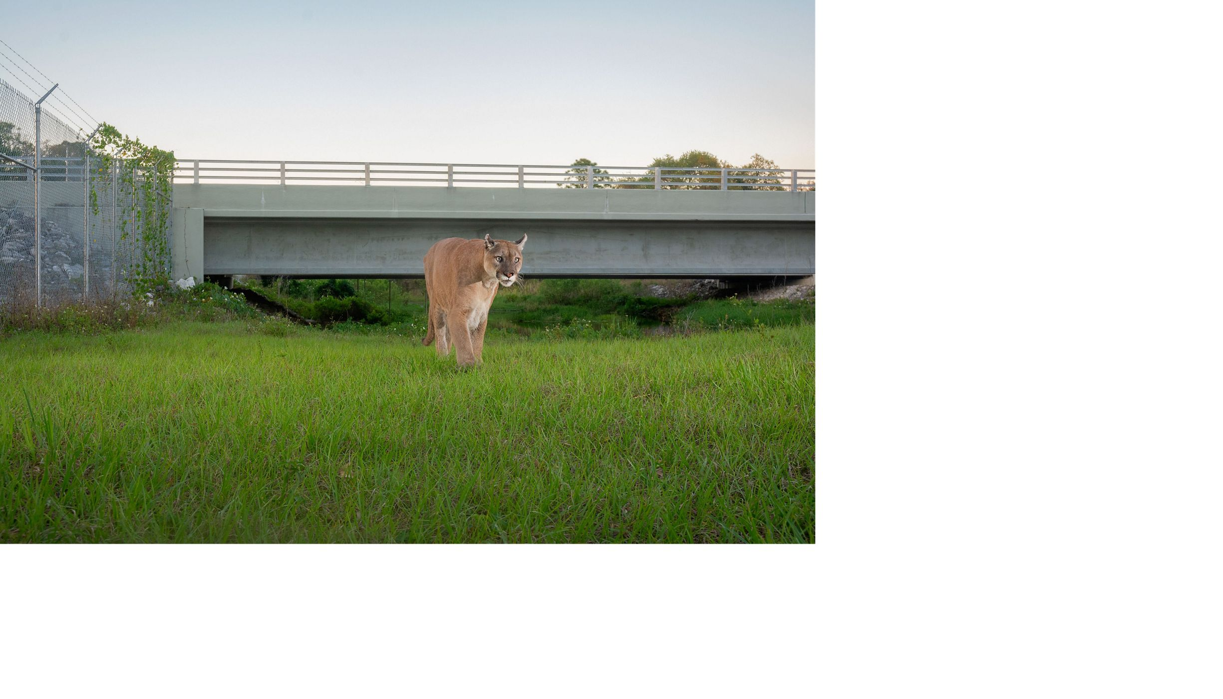 a panther uses a wildlife crossing to pass under a road