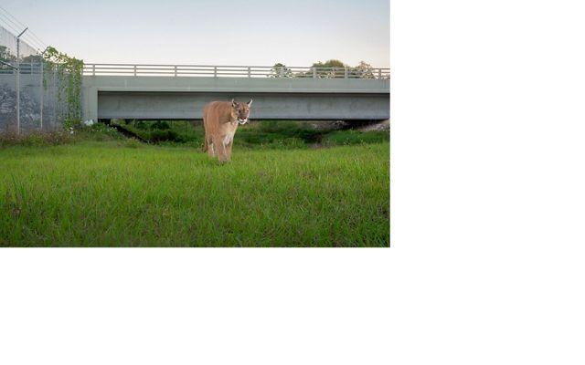 pantera frente a la cámara se aproxima, sobre verde pasto, puente de autopista en el fondo