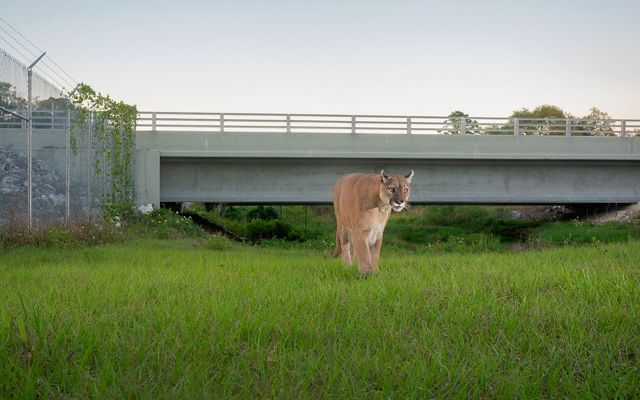 panther facing camera approaches on green grass, highway overpass in background
