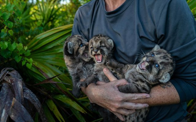 a person holds three panther kittens