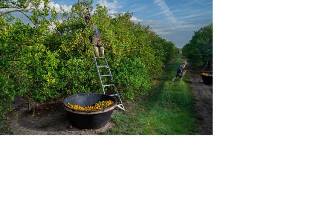 A man picks oranges in a Florida orange grove