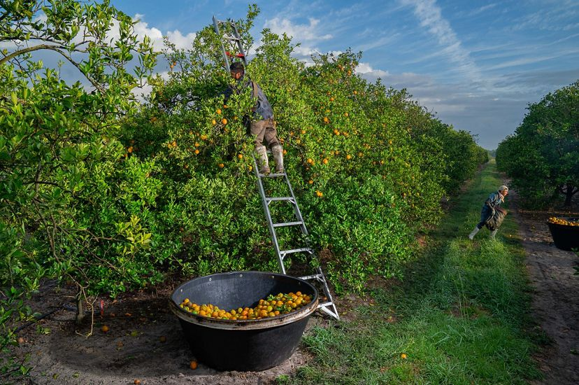 A man picks oranges in a Florida orange grove