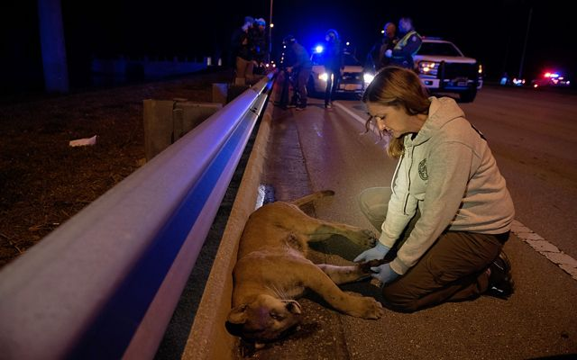 A woman examines a dead panther next to a highway