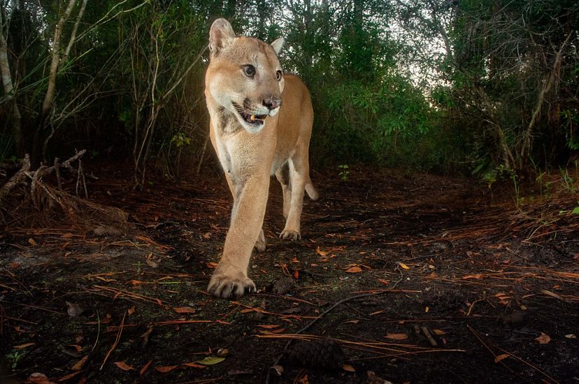 A large Florida panther