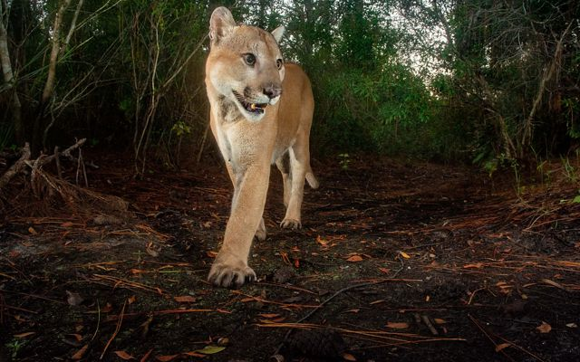 A large Florida panther
