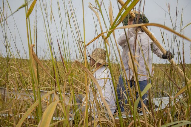 A father and son harvest rice from a canoe from tall stalks.