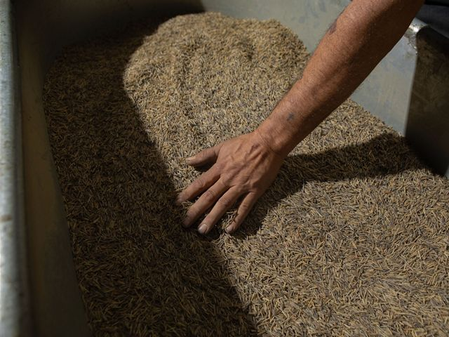 Brian Buck helps the ricers parch their wild rice harvest by roasting the grains over a wood-burning fire  in his small-scale facility in Mahnomen, Minnesota.