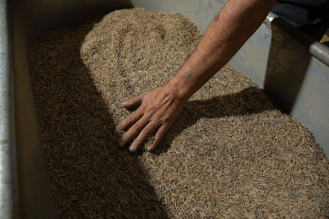A hand moves through a pile of parched wild rice