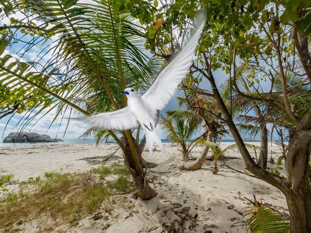 A white tern flies on a beach in front of tropical trees