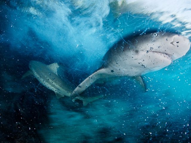 A sicklefin lemon shark swims in blue water