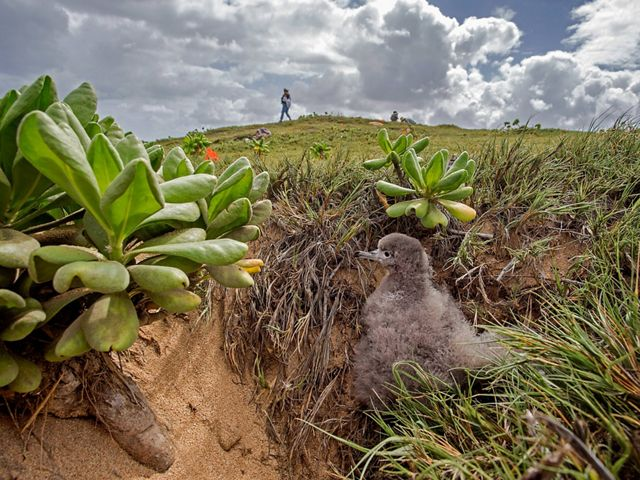 emerges from its burrow at The Nature Conservancy's Mo'omomi Preserve on Moloka'i in Hawaii.