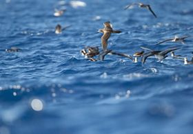 spend winter at sea and return to their home beaches to mate and raise their chicks. Their nesting sites are mostly limited to the state's smaller islets.
