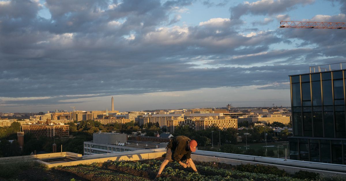 A man picks vegetables on a rooftop garden.