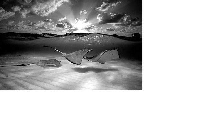 Rays swim in shallow water
