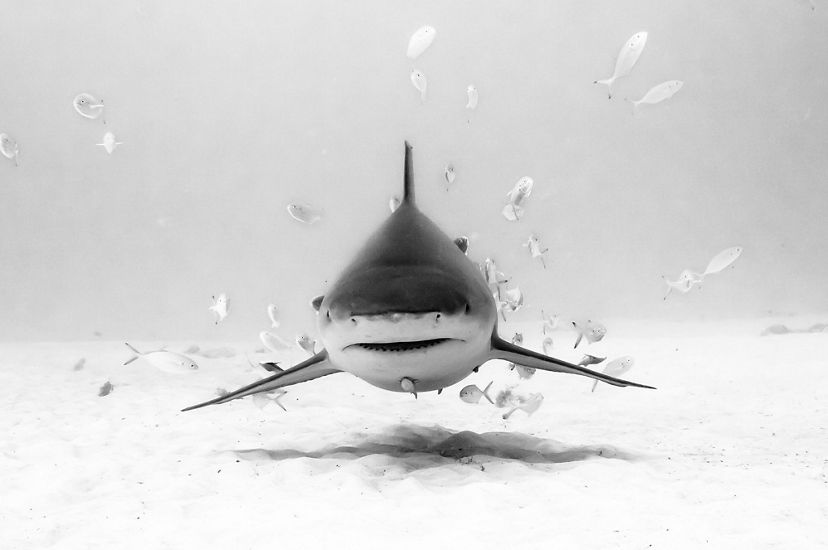 A shark swims surrounded by smaller fish