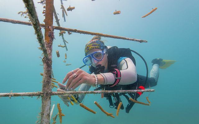 A diver ties pieces of coral to an underwater PVC frame