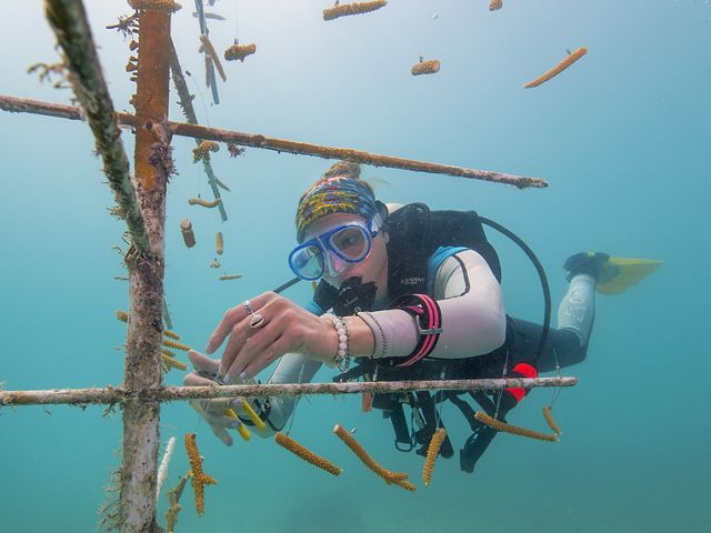 female scientist attaches pieces of baby coral to pvc pipe to grow coral reefs underwater