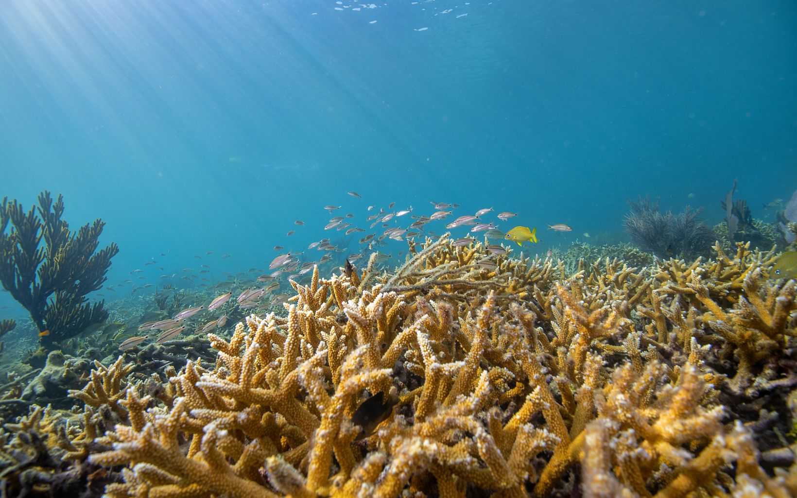 healthy yellow coral attract colorful fish