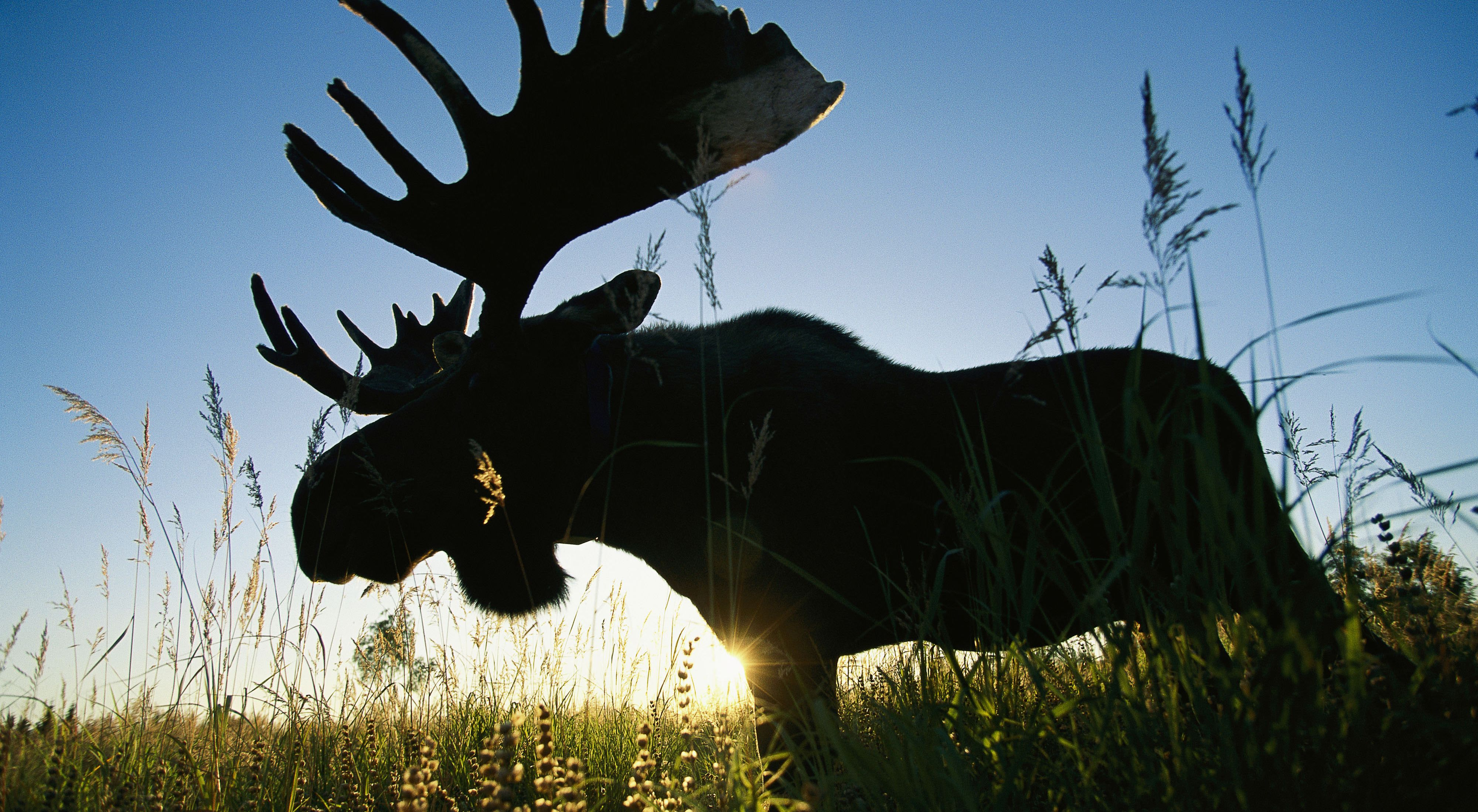 A moose named Bando stands in bluejoint grass at sunset. The Kenai National Wildlife Refuge is where the world's only moose research center can be found. Alaska