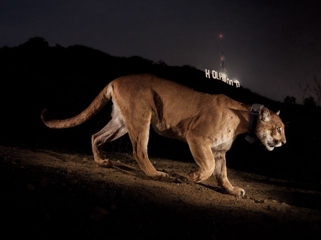 A remote camera captures a radio-collared cougar in a park in Los Angeles.