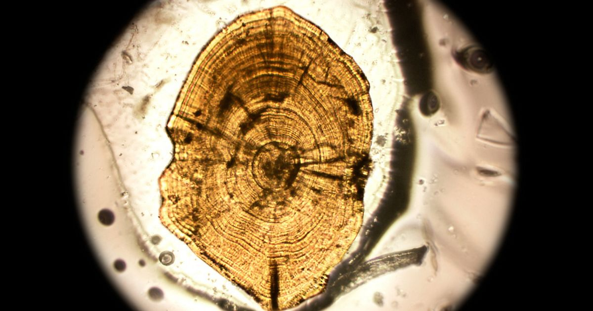 A cross section of an ear bone from a northern pike looks like a tree stump