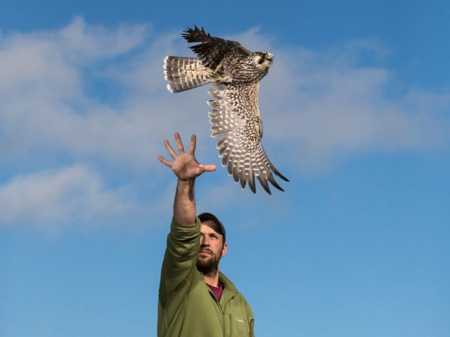 A man releases a peregrine falcon into the blue sky.