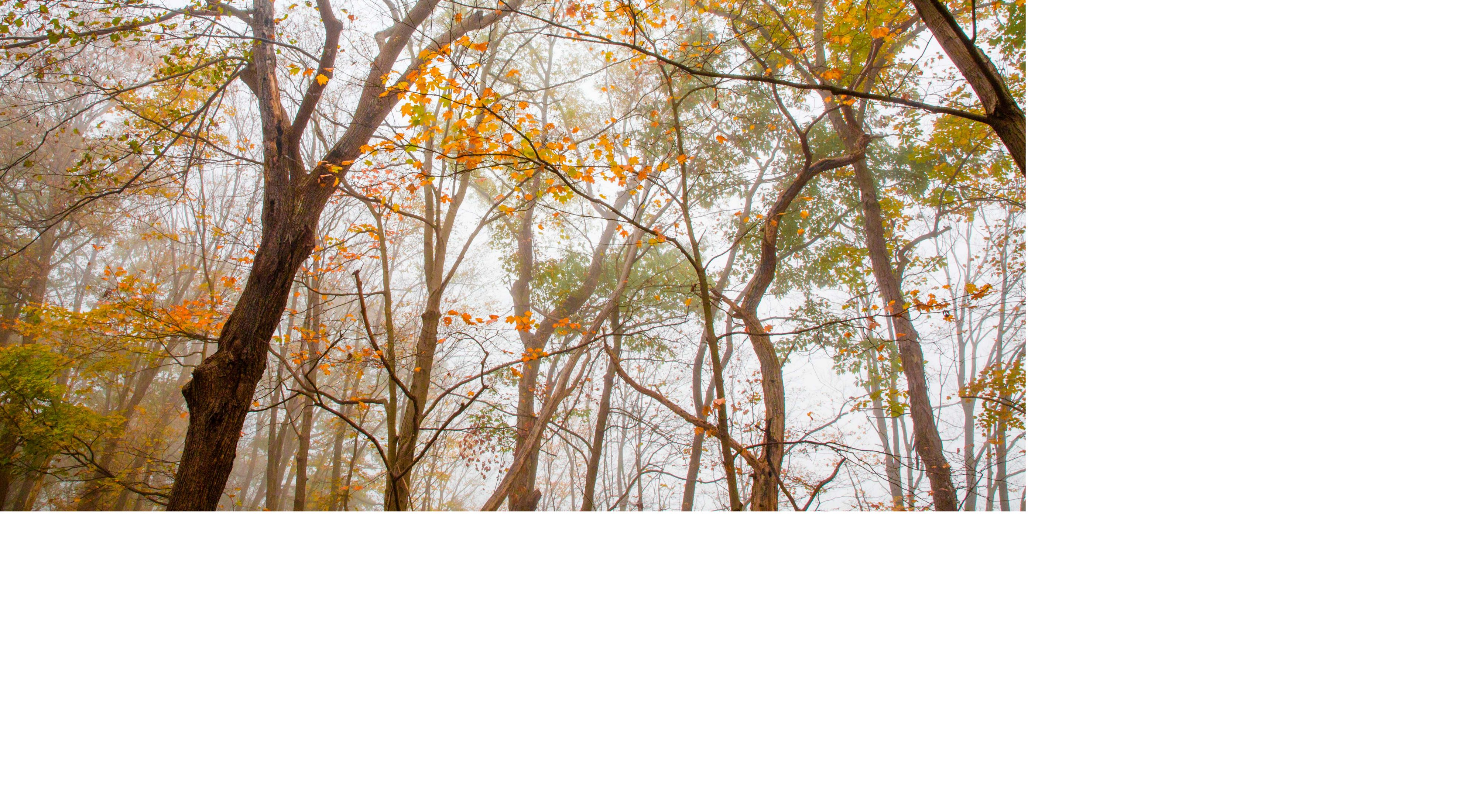 Forest treetops with fall color