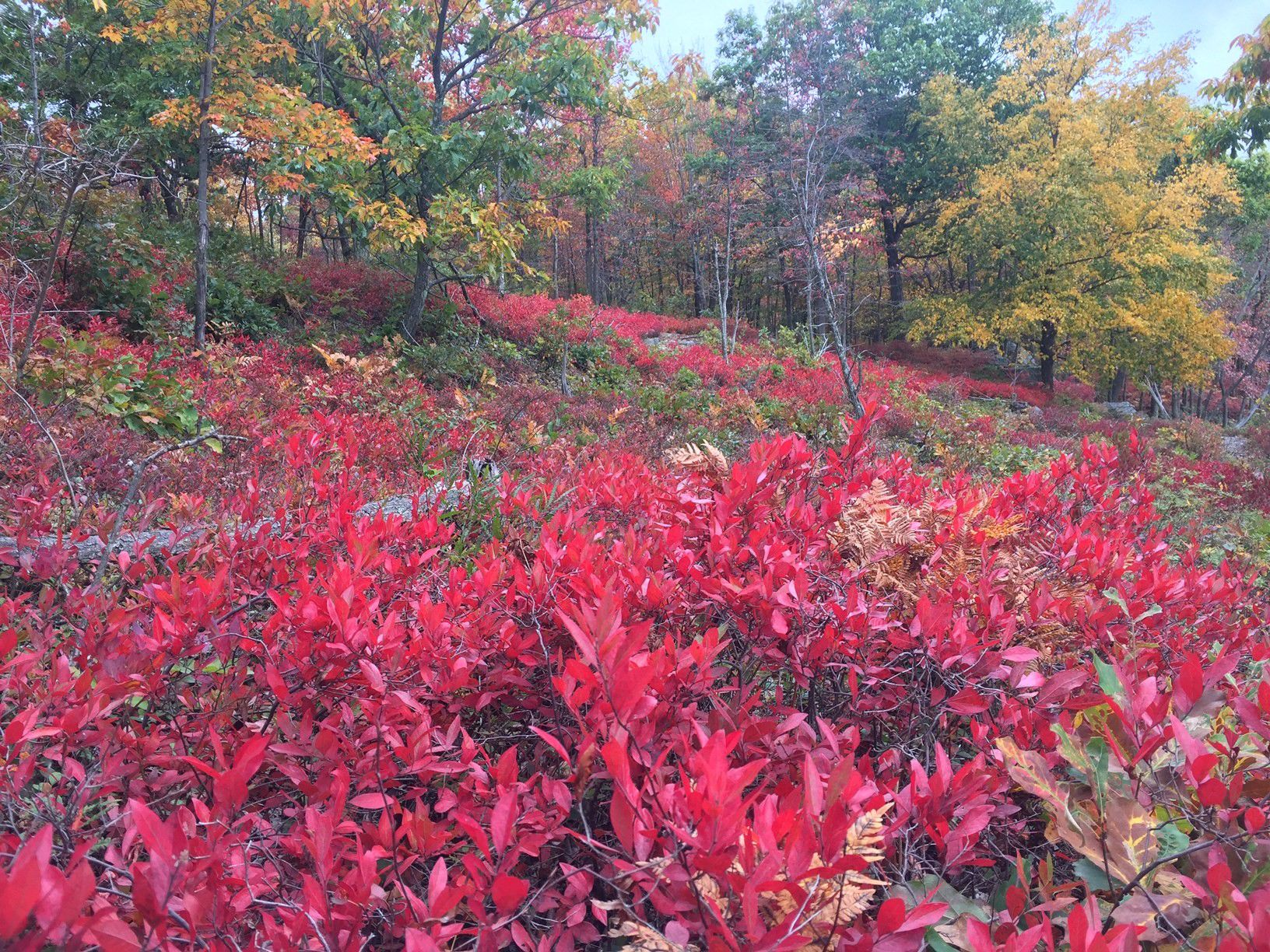 Low shrubs with brilliant red leaves dominate the foreground, obscuring the view of a narrow foot path that curves behind them into the woods.
