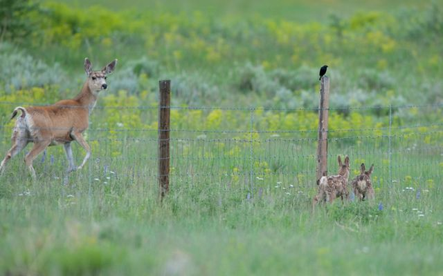 A doe is separated from her fawns by a fence.