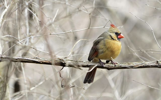 A tan female cardinal is resting on a branch.